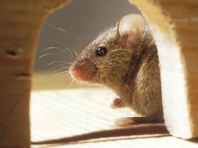 Мыши «поют» о своих правах на территорию и для привлечения самок