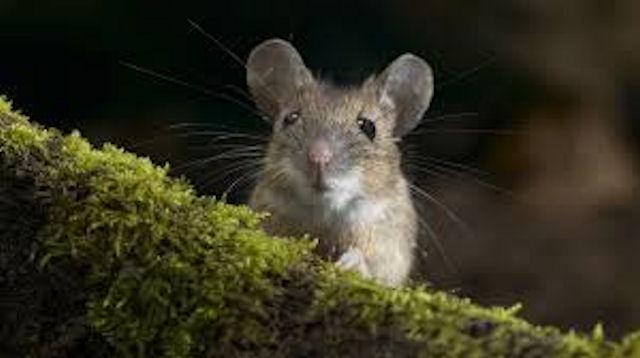 Мыши приблизились к Челябинску