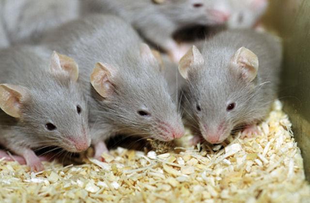 Мыши узнают друг друга по протеиновому составу