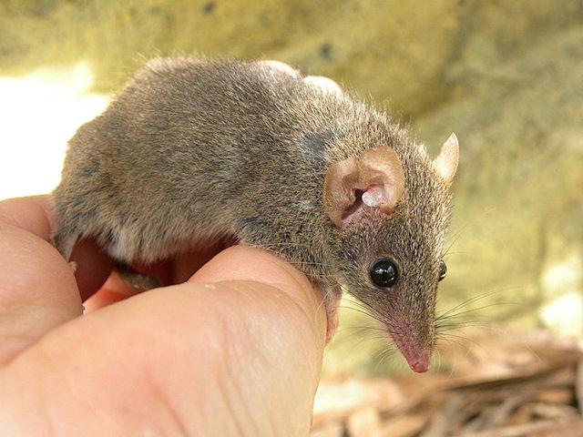 Мыши выбирают партнеров для спаривания, избегая родственников