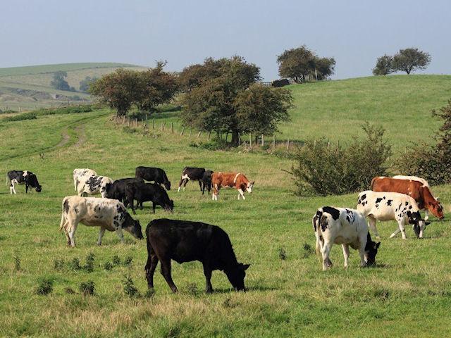 Мышиный ген спасёт коров от туберкулёза
