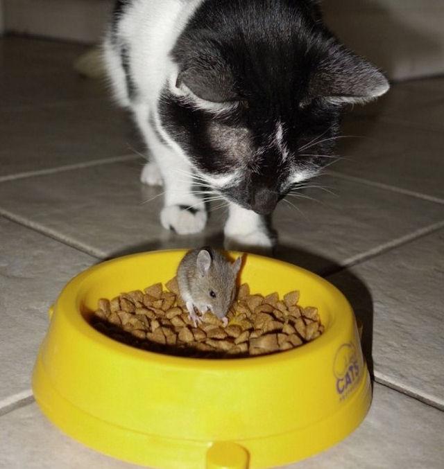 Мышка напугала кота