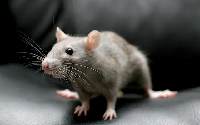 Мышка полакомилась хозяйским Мерседесом