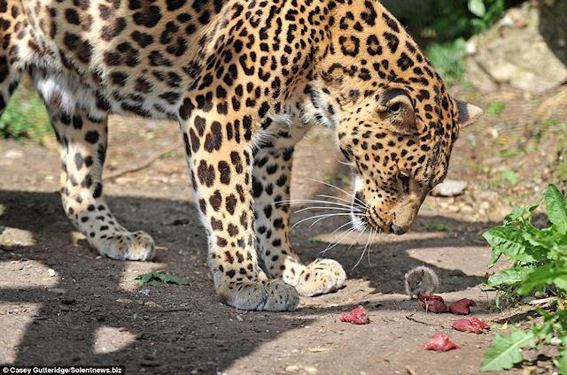 Мышонок проник в клетку леопарда и съел его мясо