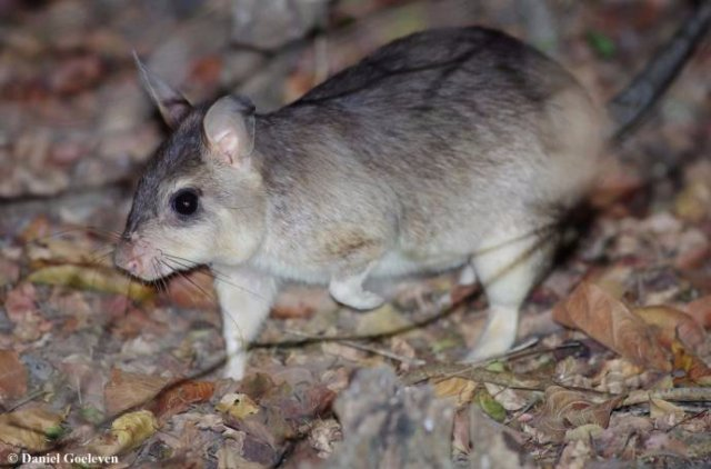 На Мадагаскаре живёт огромное количество различных мышей и крыс