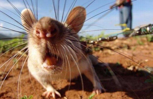 На москвича напала бешеная крыса