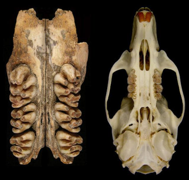 На острове Тимор обнаружены самые большие крысы