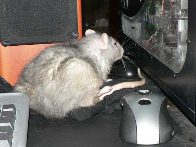Крысы напугали грабителей зоопарка