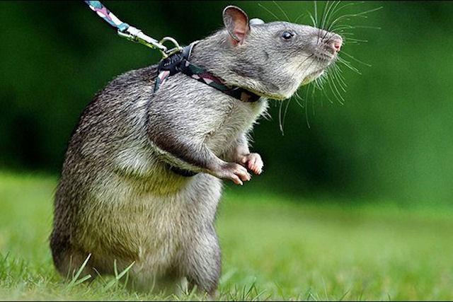 Крысы будут искать наркотики и взрывчатку в Уганде