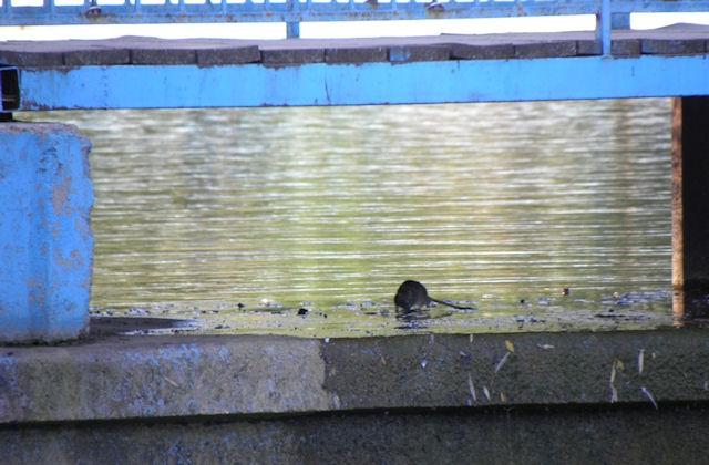 В одесском парке Победы нашествие крыс