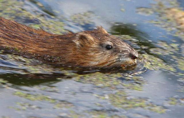 Нашествие водяных крыс в Омской области