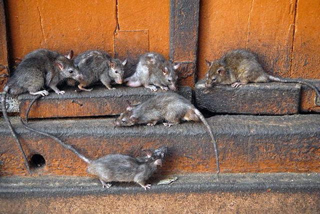 Наводнившие Бишкек крысы кусают собак и людей
