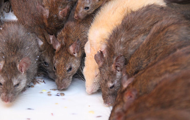 Тамбовские пожарные не позволили крысёнку погибнуть