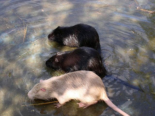 Немцы стали заложниками гигантских водяных крыс