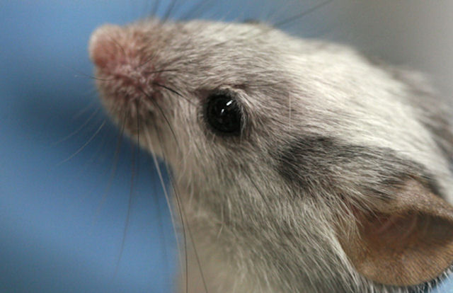 Немецкие ученые вылечили мышей от цветовой слепоты