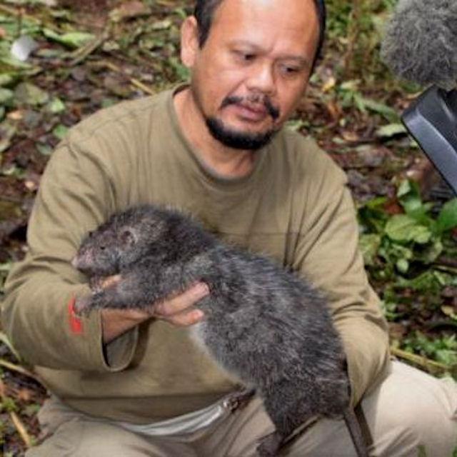 Новый вид гигантских крыс найден в Индонезии