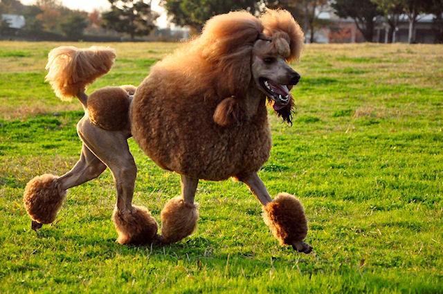 О собаках породы пудель