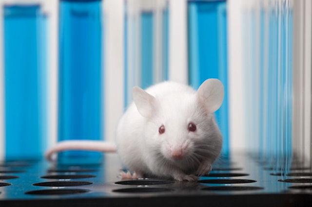 О важности лабораторных грызунов