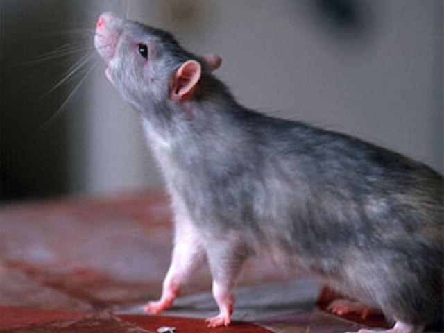 Мексиканская обезьяна усыновила новорожденного крысёныша