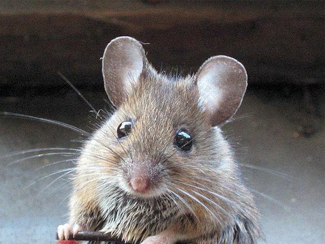 Обиженный британец выбросил любимую крысу своей бывшей девушки