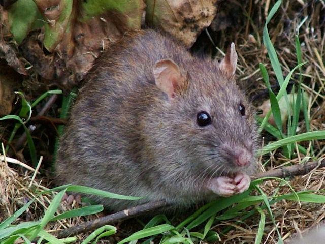 Оборудуем уголок для крысы