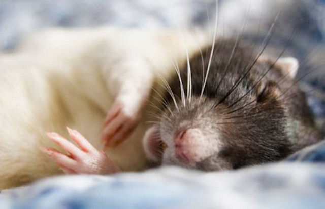 Огороды новосибирцев атакуют крысы