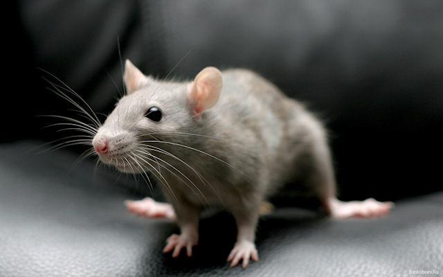 Эмбрионы крыс помогут создать эффективную технологию искусственного оплодотворения