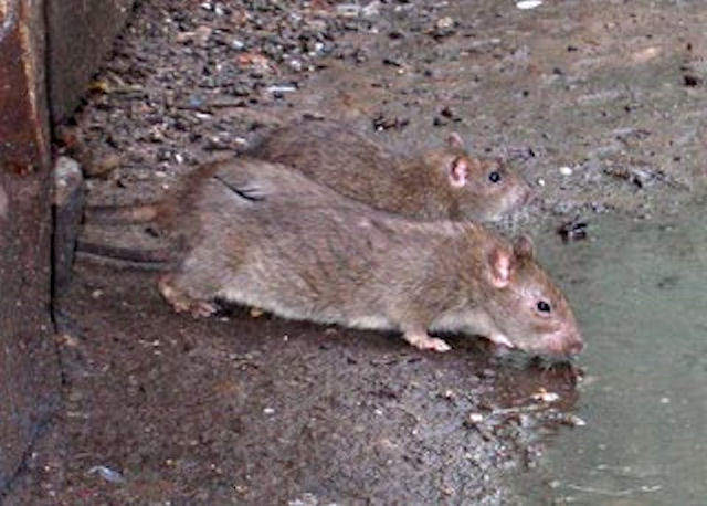 Остров на Аляске очистят от Крыс