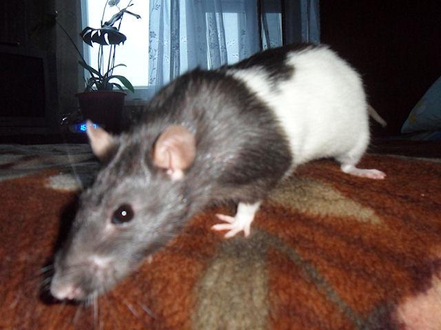 От гибели мужчину спасли верные крысы