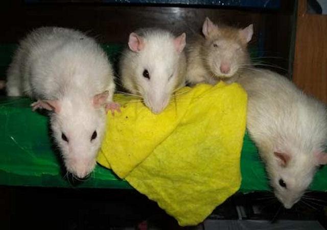 Можно ли отучить крысу грызть вещи?