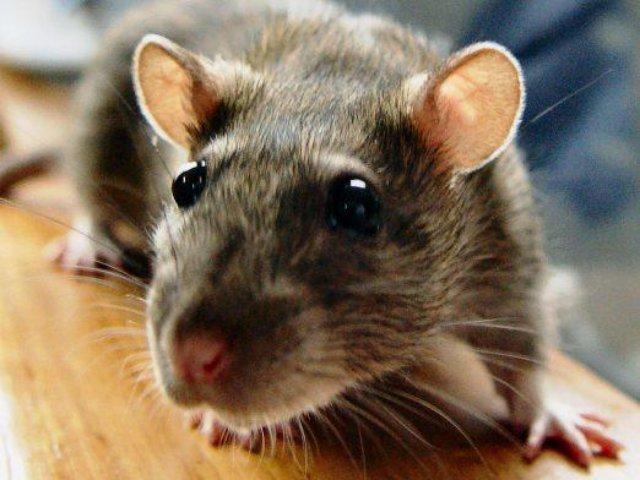 Озвучены имена, которыми лучше всего назвать крысу