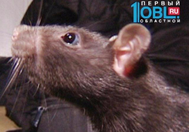 Первая в России крыса-сапёр работает в Челябинске
