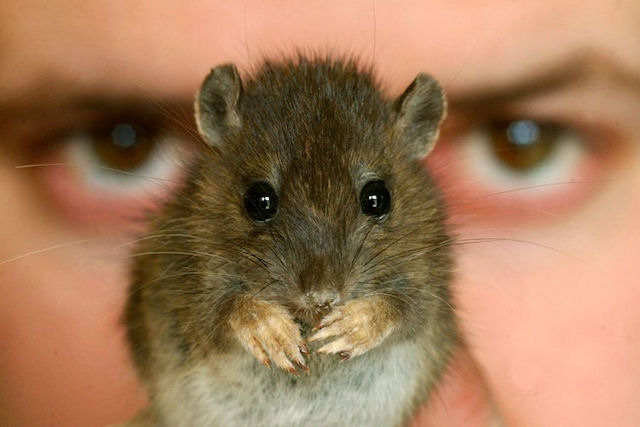 Первоуральску грозит крысиная революция?