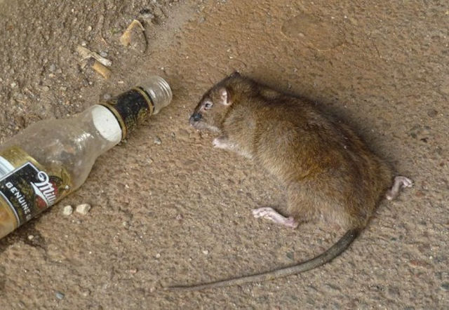 Бизнесмен предложил студентам пиво за уничтожение крыс
