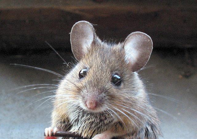Полицейские спасли мышку, которой собиралась полакомиться кошка