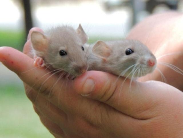 Полсотни крыс спасли от одиночества жительницу Киева