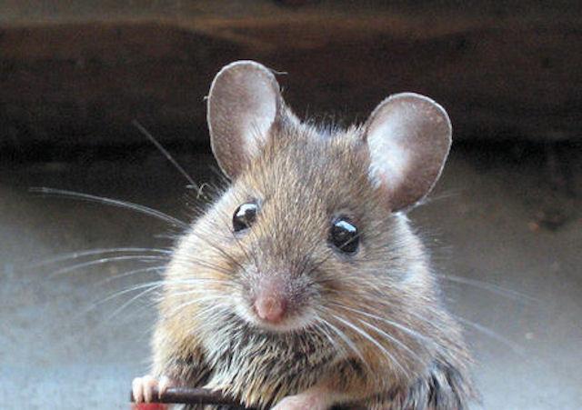 Полсотни мышей были спасены от гибели благодаря сотрудникам Россельхознадзора