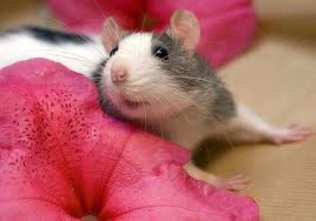 Популярность декоративных крыс растёт