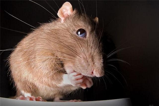 После гибели любимой мышки у школьницы случился обширный инсульт