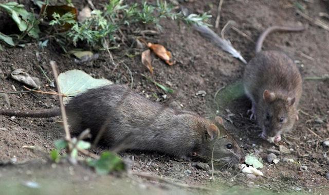 Человек мысленно «повилял» хвостом крысы