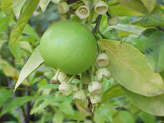 Познакомьтесь поближе с экзотическим фруктом помело