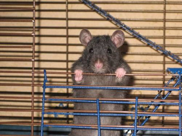 Правильное обустройство крысиной клетки — залог комфорта любимого грызуна