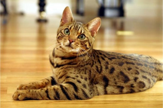 Про бенгальскую кошку