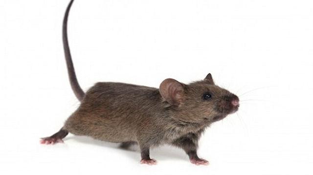Ученым удалось увеличить продолжительность жизни мышей