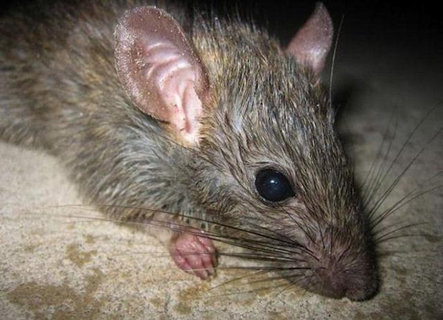 Крысы испытали уникальный протез сетчатки глаза