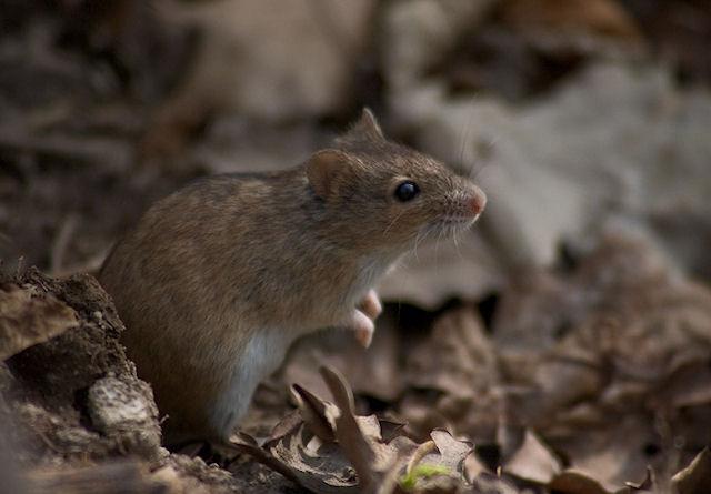 В Новой Зеландии прохожий откусил голову мыши