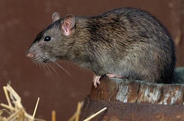Ребёнок испытал на себе гнев бешеной крысы