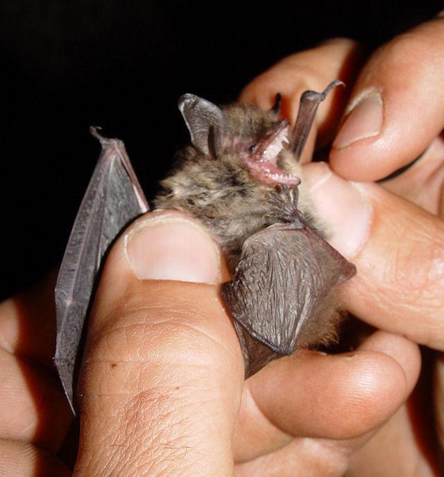 Редкие виды летучих мышей найдены в Кузбассе