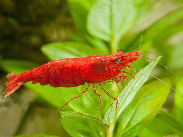 Обитатели аквариума: креветки