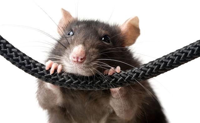 Рим потратит 400 тыс евро на борьбу с крысами